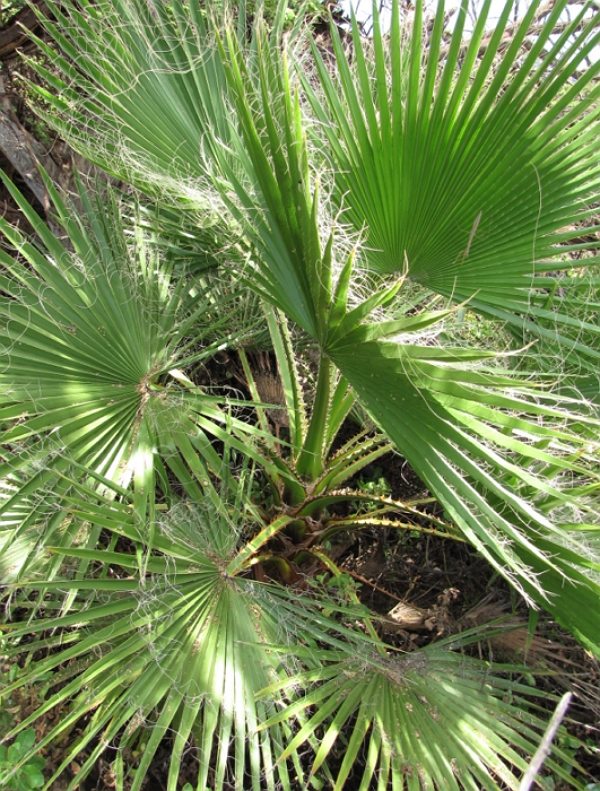 Washingtonia robusta leaves of a sapling