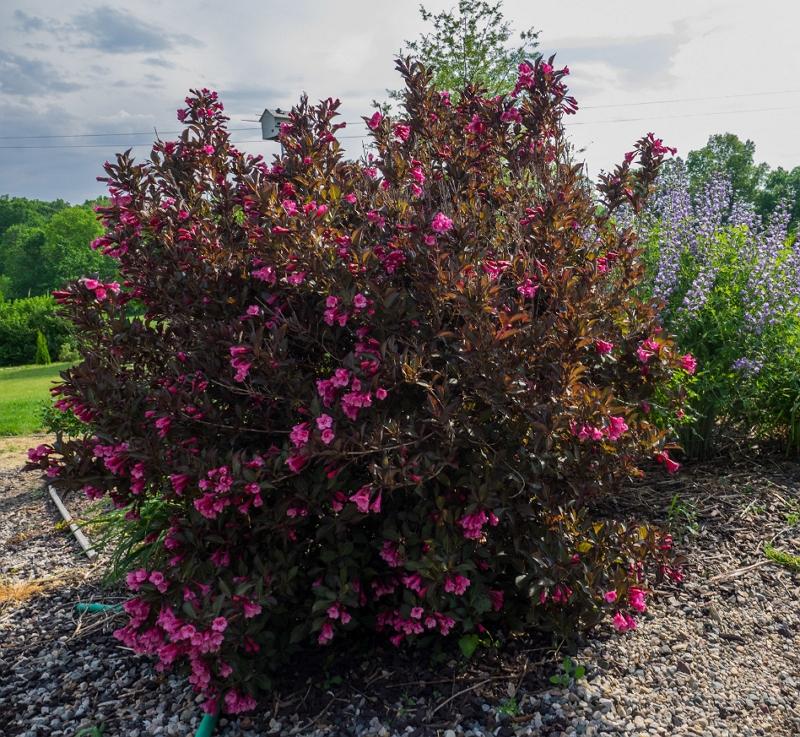 Weigela florida Alexandra shrub