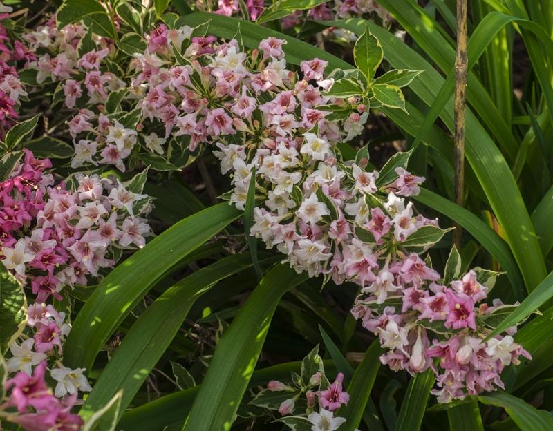 Blooming Weigela florida Variegata plant
