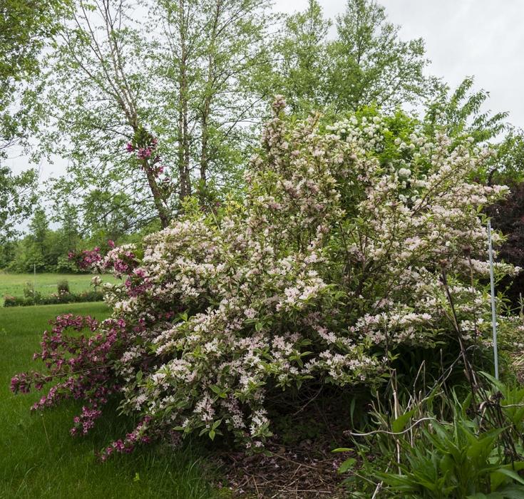 Weigela florida Variegata shrub