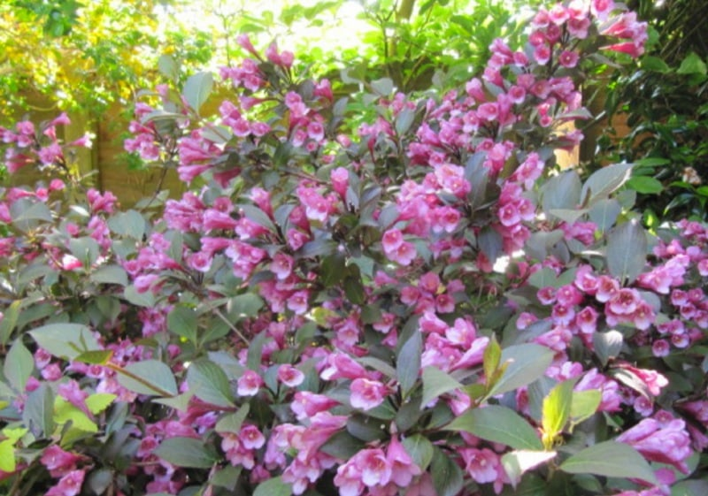 Old-fashioned Weigela
