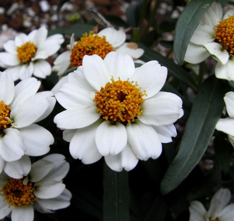 White Zinnia angustifolia flower