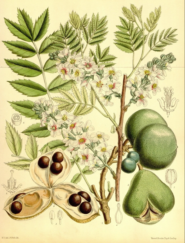 Xanthoceras sorbifolium Botanical Drawing