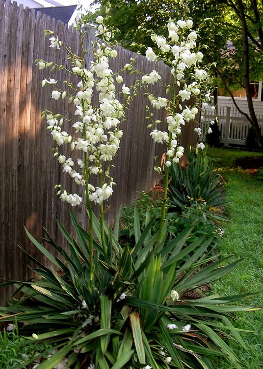 Yucca filamentosa plants in bloom