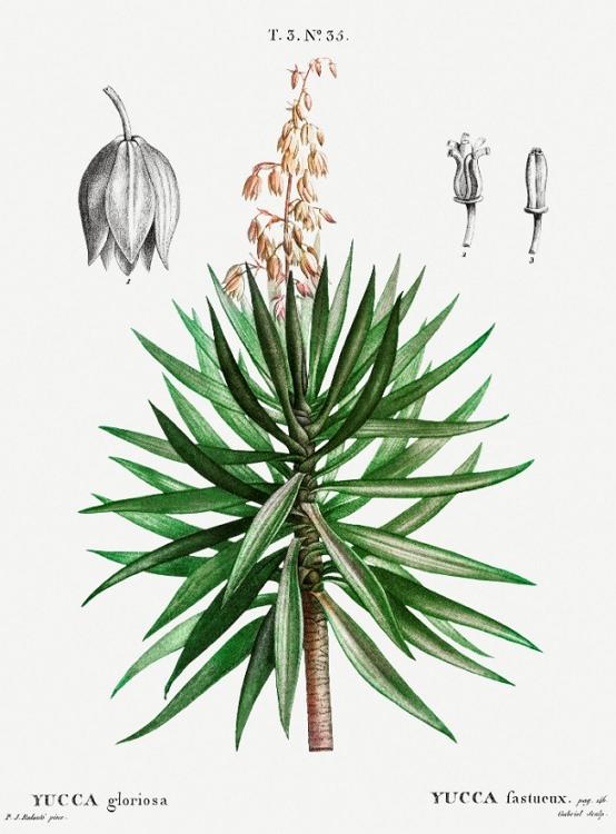Yucca gloriosa Spanish Dagger Botanic Picture