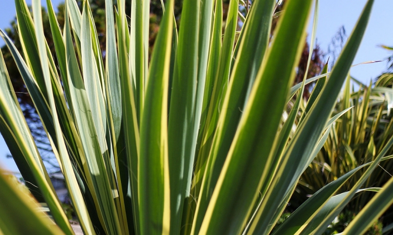 Yucca gloriosa leaves