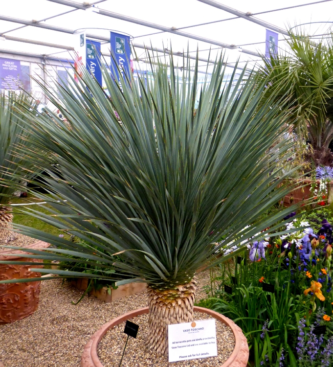 Yucca rostrata as a container plant