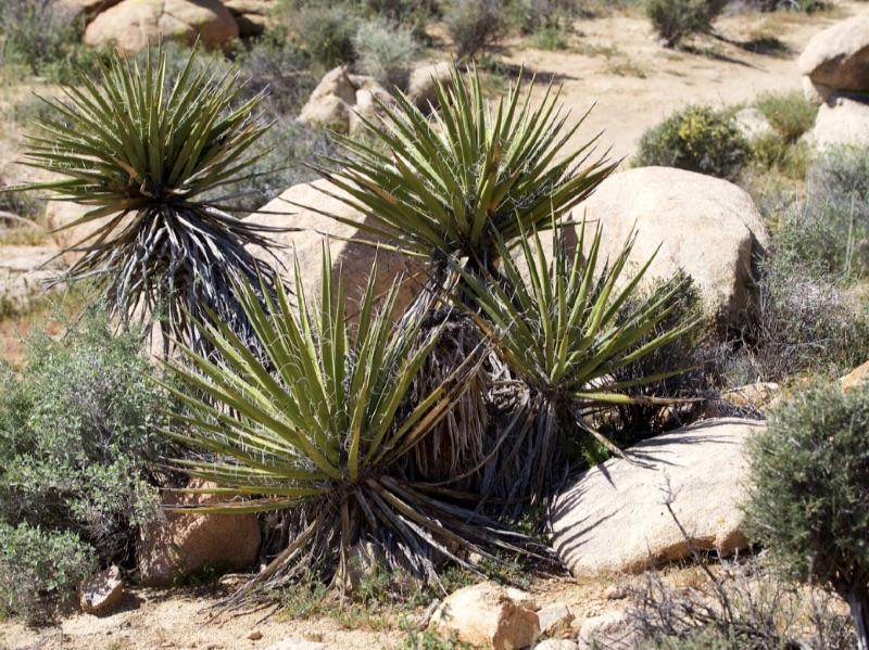 Yucca schidigera Photograph