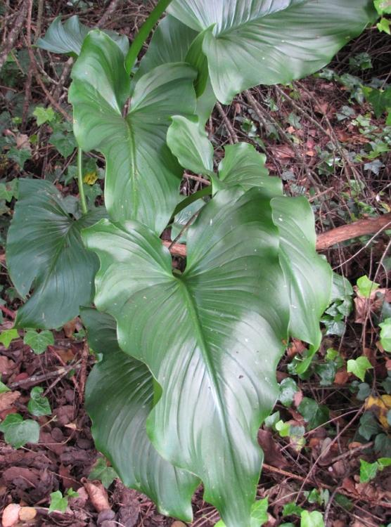 Zantedeschia aethiopica leaves