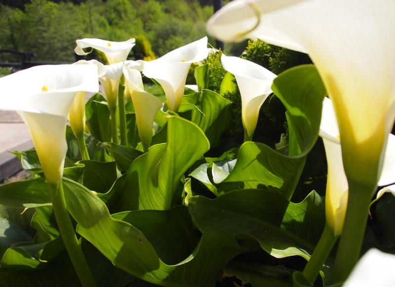Zantedeschia aethiopica plants