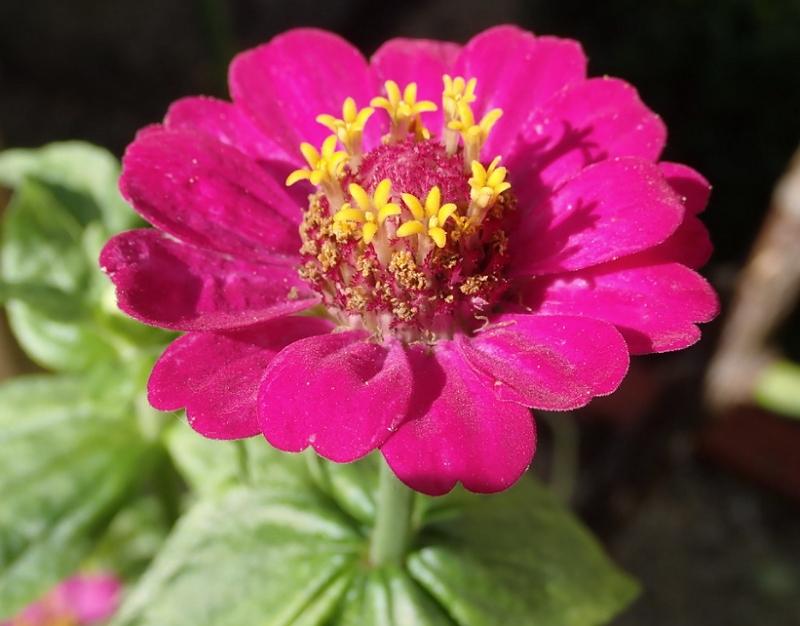 Zinnia elegans rosa Flower Close-up