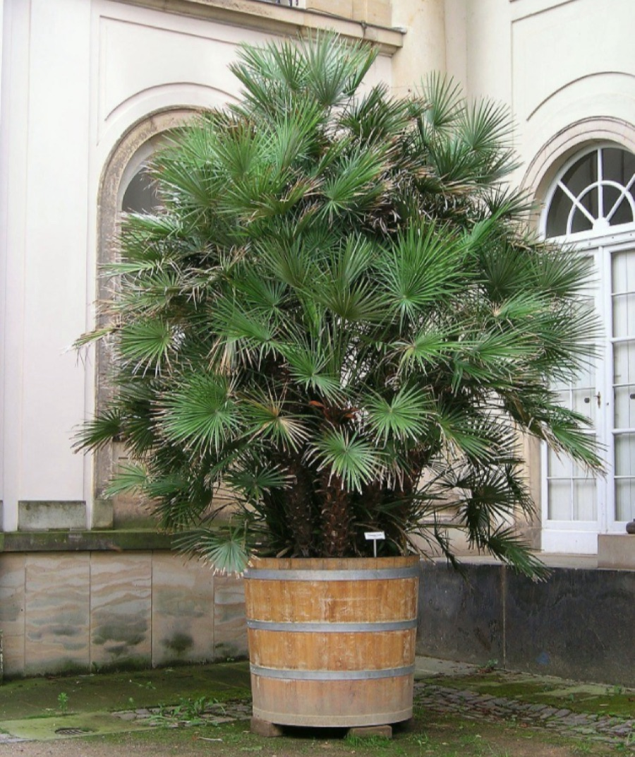 Chamaerops humilis being grown in a container