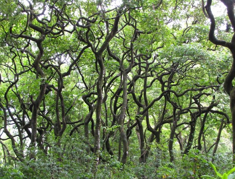 kukui nut trees