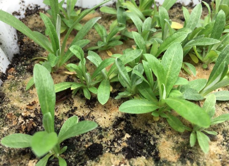Leontopodium alpinum Photograph
