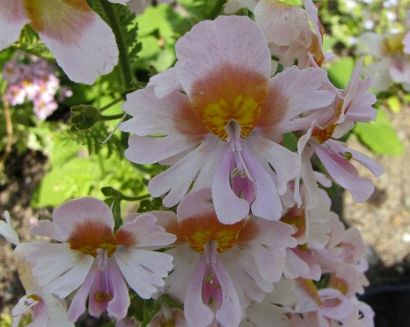 schizanthus pinnatus, the Butterfly flower