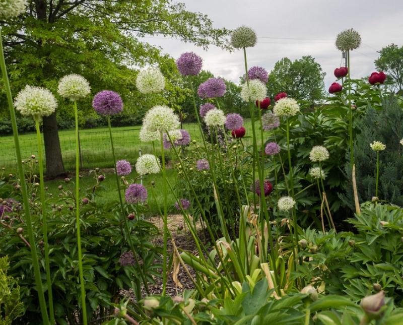 white and purple Allium giganteum plants