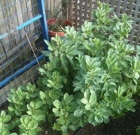 Growing Broad beans