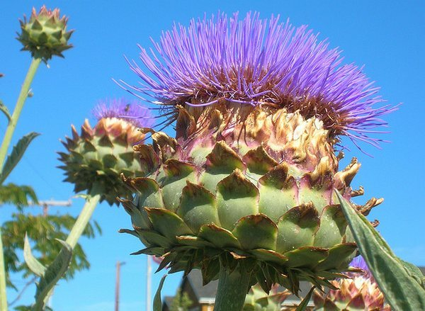 Growing Cardoon Cynara cardunculus