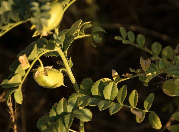 Garbanzo bean / Chick pea plant
