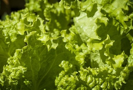 Growing Lettuce A Guide On How To Grow Lettuce In The Garden