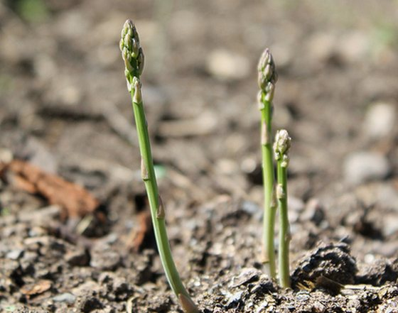 Photograph of growing Asparagus