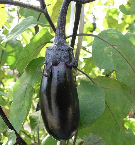Growing Eggplants and Aubergines photograph