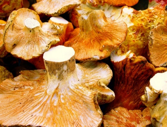 Photograph of Lobster Mushrooms