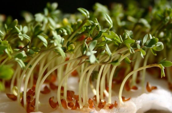 Cress sprout