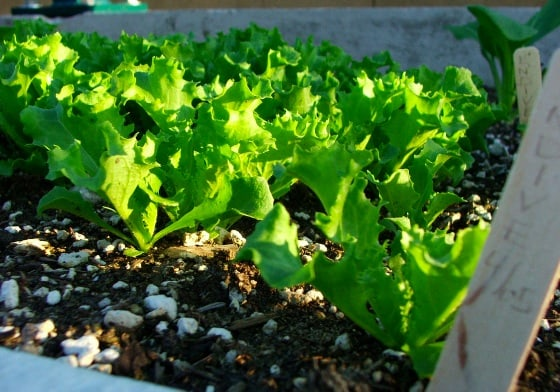 Endive plant seedlings