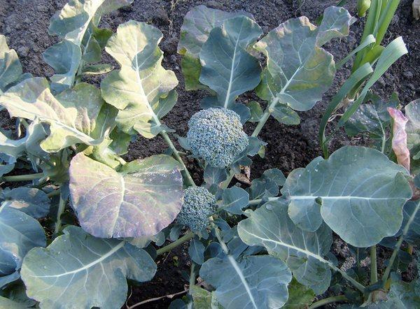 Growing Broccoli Plant