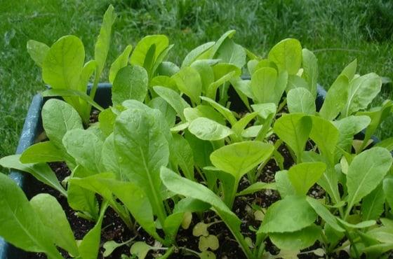 mustard plant seedlings