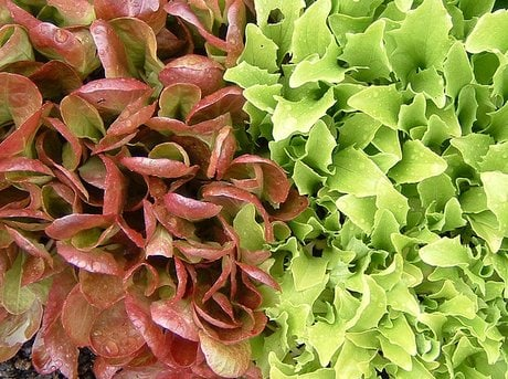 Red and Green Lettuce Leaves