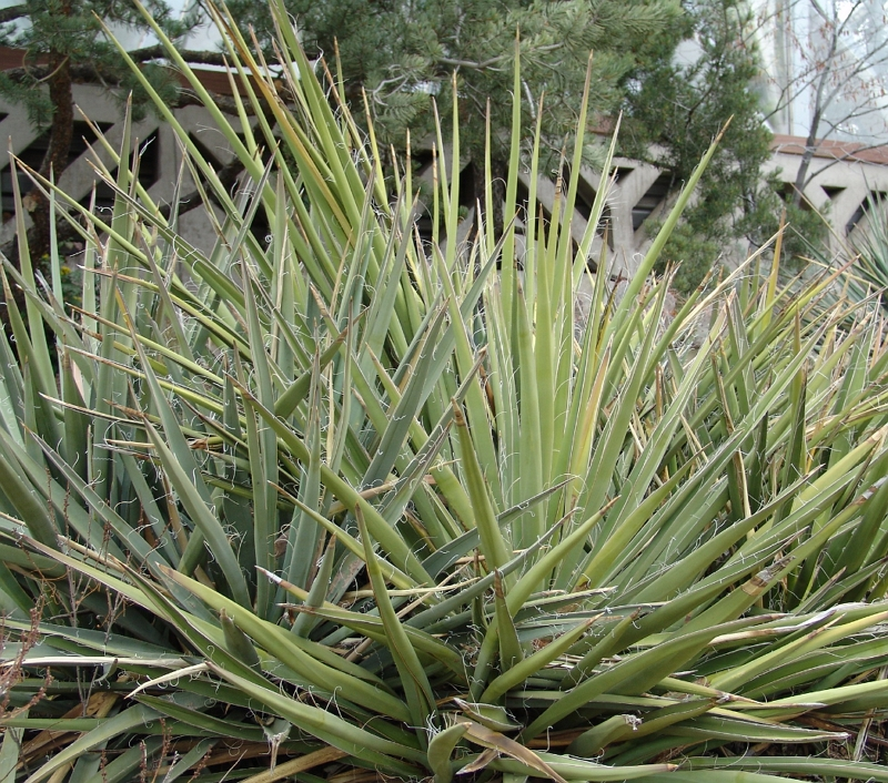 Yucca baccata plant