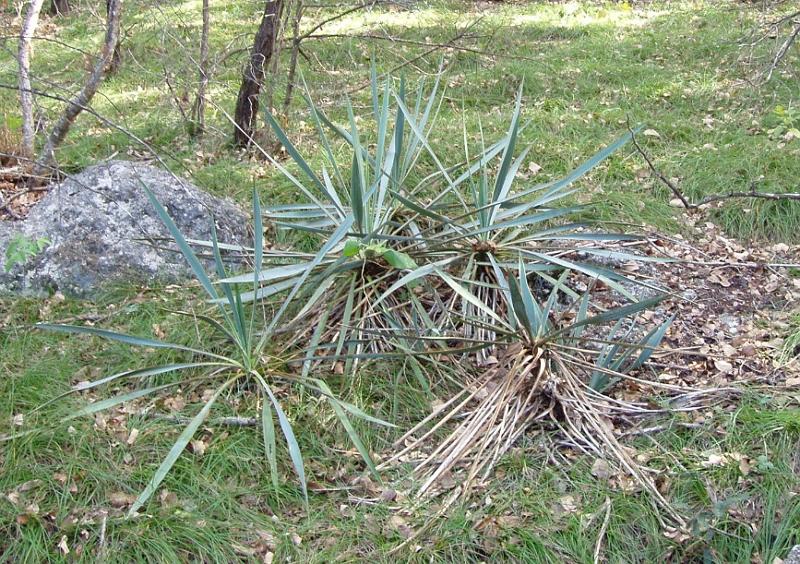 Yucca pallida