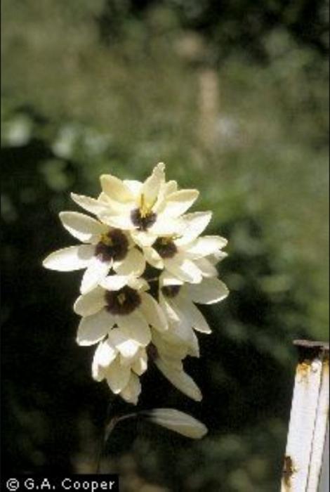 Sword lily photo