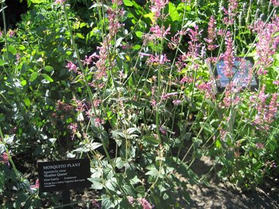 Agastache plant Growing Caring for Giant Hyssop