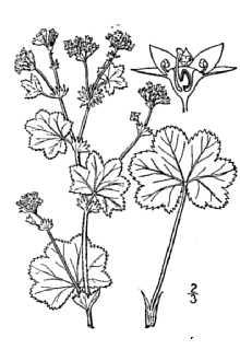 Alchemilla, ladys mantle