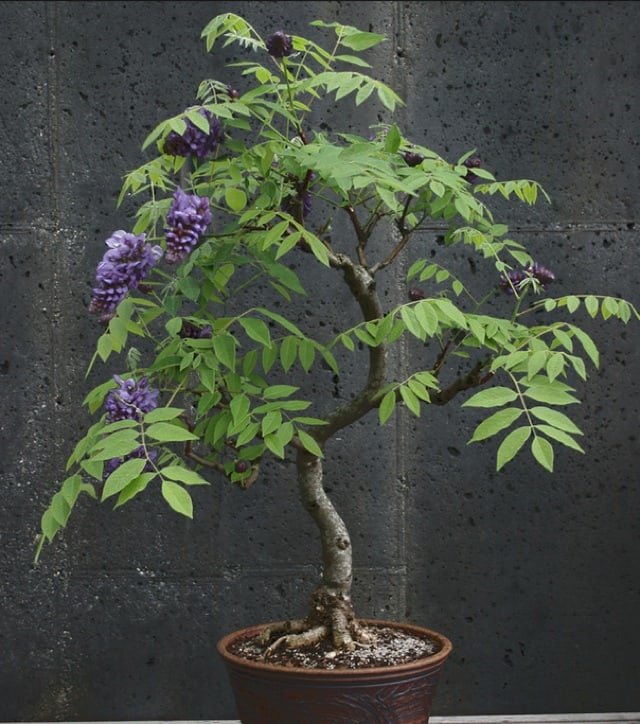 Bonsai American Wisteria Growing in a Container