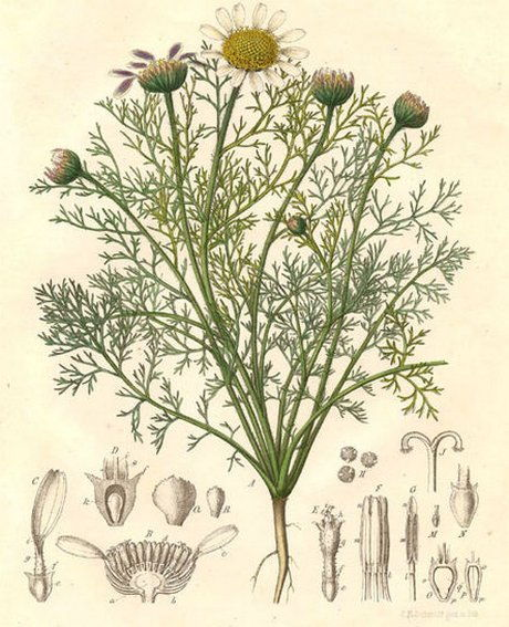 Anacyclus officinarum