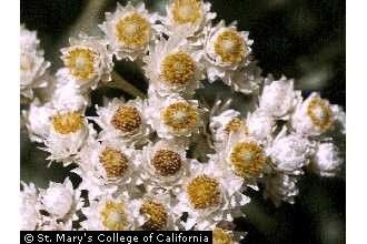 Anaphalis, Pearly everlasting