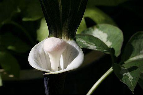 Arisaema sikkoianum