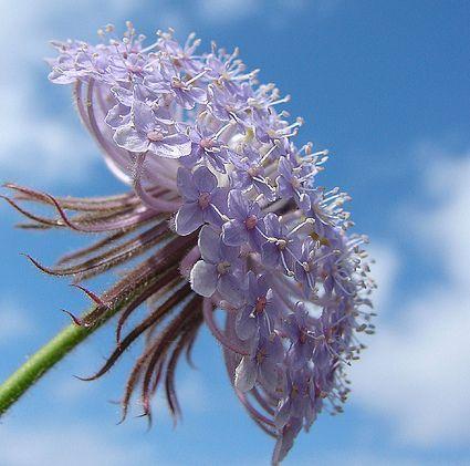 Australian Lace Flower