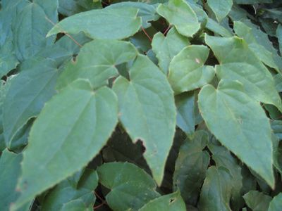 Barrenwort leaves picture