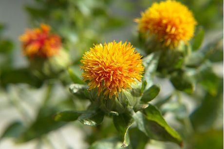 Carthamus Plant   How to Grow Safflower