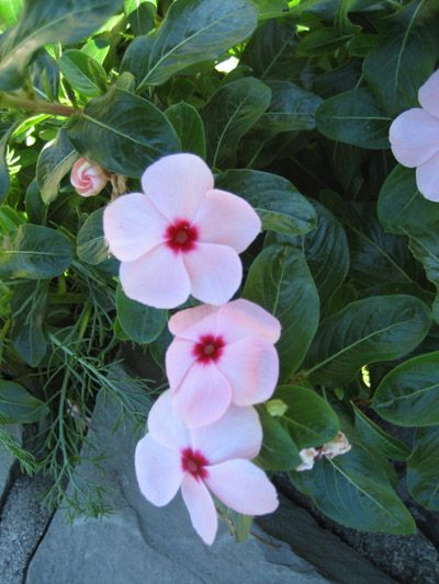 Catharanthus picture