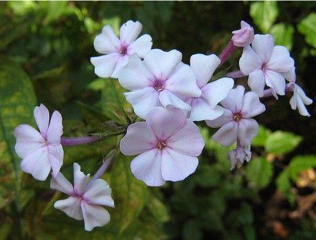 Ceratostigma flowers
