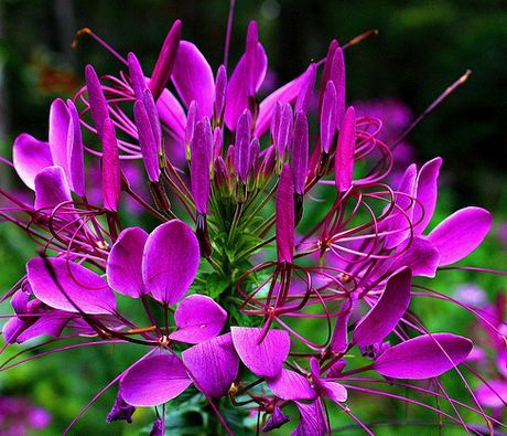 Guide to Growing Spider Flower, Beeplant, and African Cabbage Green Garden Spider