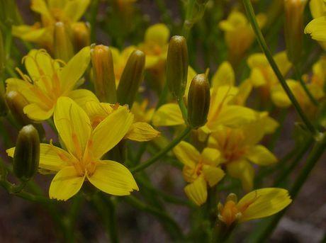 Crepis acuminata