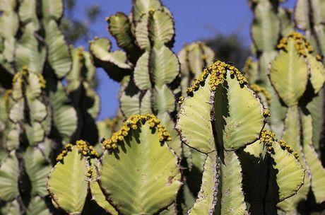 Euphorbia barnardii