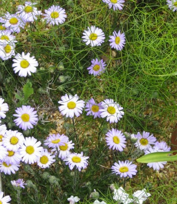 Felicia uliginosa flowers